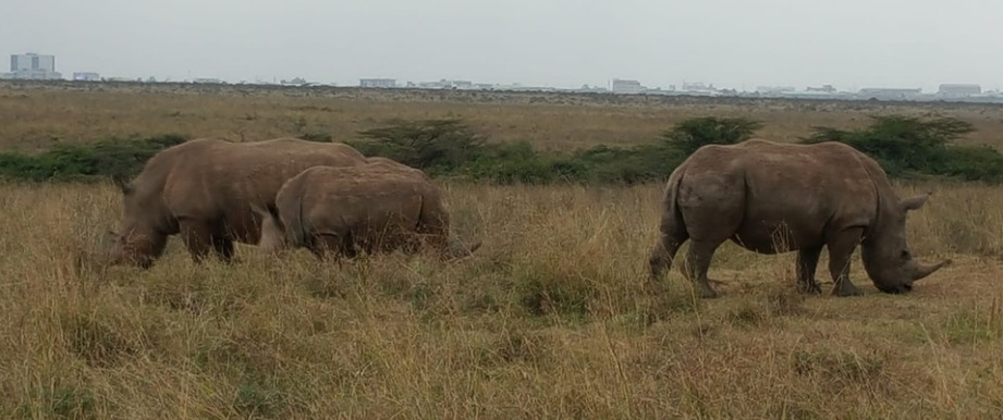 Black Rhinos at the famous Nairobi National Park with the skyline of the city.