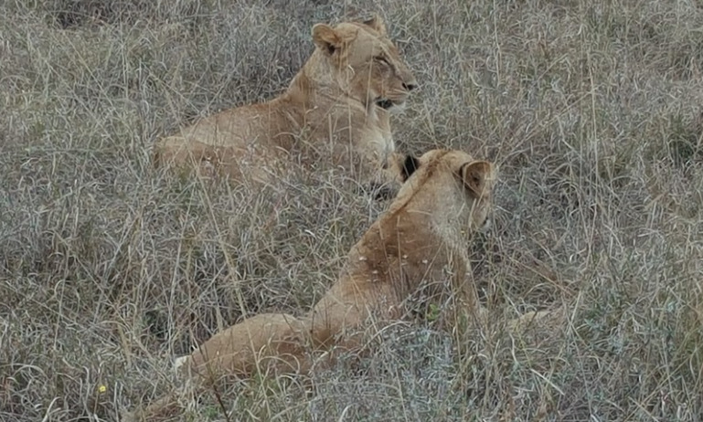 Lionesses lazing in the Nairobi National Park.