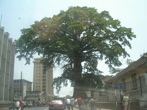 The Cotton Tree of Freetown. Photo credit https://kids.kiddle.co/Freetown