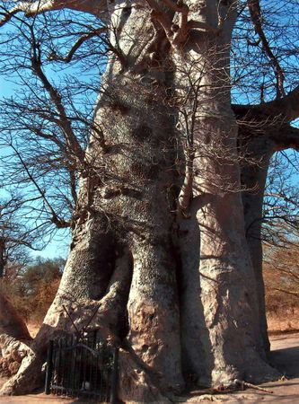 This ancient baobab tree in the Réserve de Bandia, Sénégal, forms a living mausoleum for the remains of famed local griots.