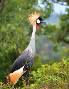 The grey crowned crane is the national bird of Uganda. Photo credit www.kiddle.co