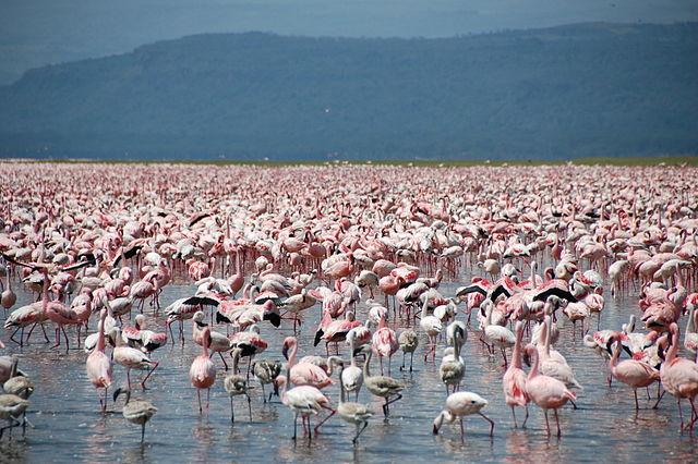 Flamingoes in Lake Nakuru. Photo credit Wikicommons.